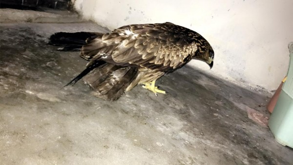 Falcon - Bird - Buy and Sell Pets in Lahore