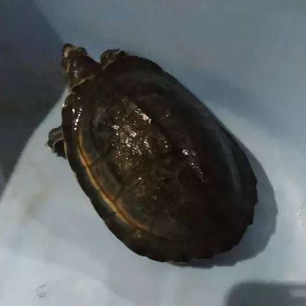 Turtle with full setup and aquarium - Turtles & Tortoise - Buy and Sell Pets in Lahore