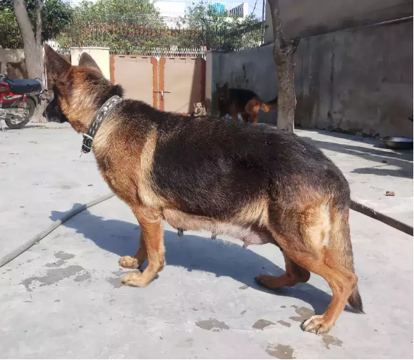 Cooper - pubby for sale - Dog - Buy and Sell Pets in Lahore