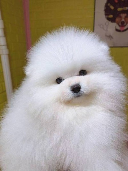 pomeranian puppy - Dog - Buy and Sell Pets in Ziarat