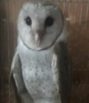Owl for sale - Bird - Buy and Sell Pets in Karachi