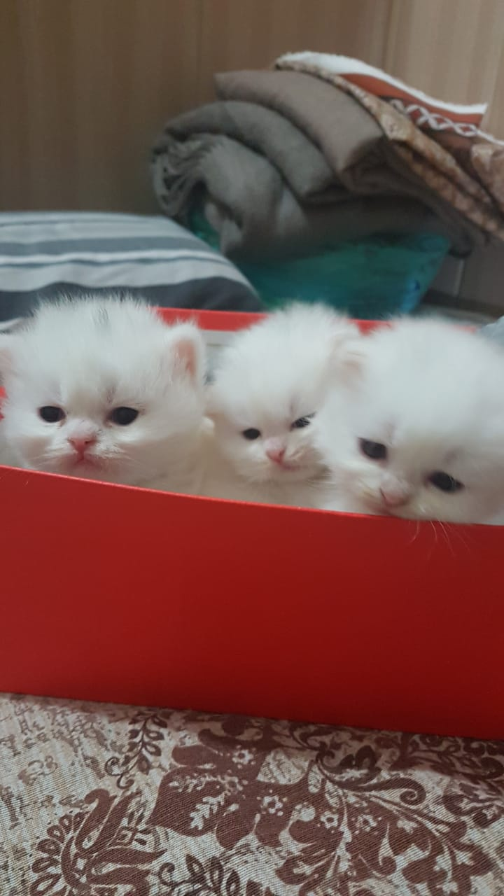 peanut - Cat - Buy and Sell Pets in Lahore