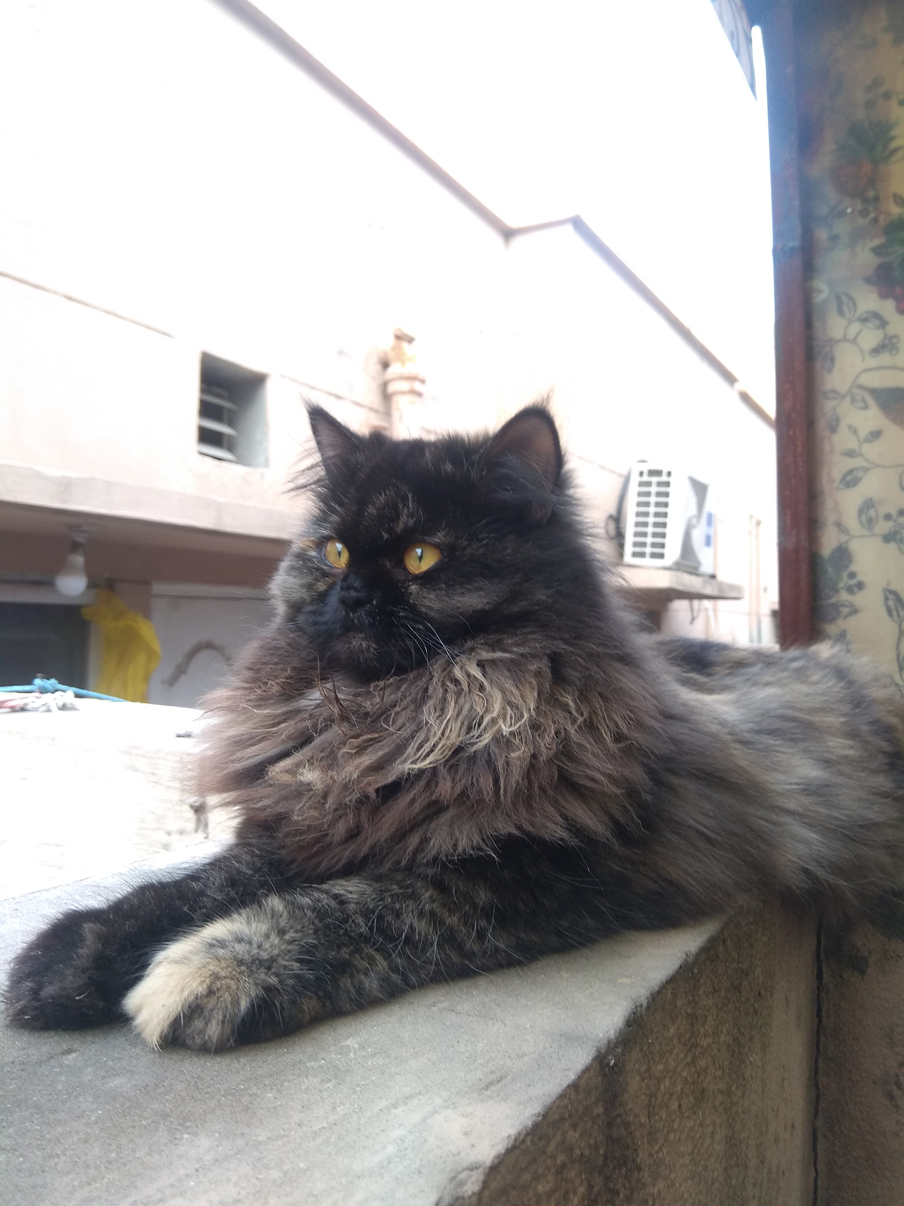 Smooky - Cat - Buy and Sell Pets in Lahore
