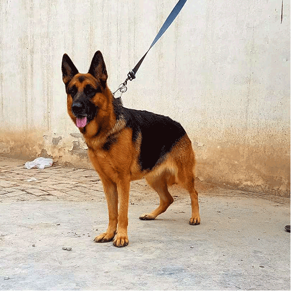 German Shepherd - Dog - Buy and Sell Pets in Faislabad, Pakistan