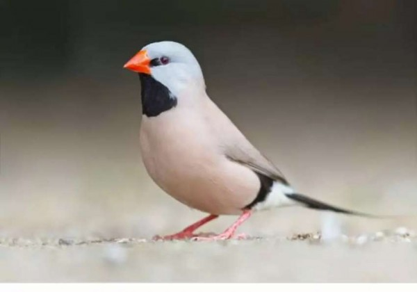 Shaft-tail finch pair - Bird - Buy and Sell Pets in Karachi