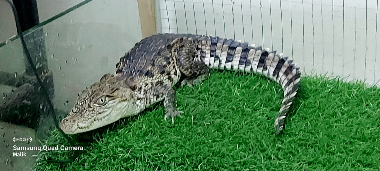 Crocodiles - Crocodiles - Buy and Sell Pets in Lahore