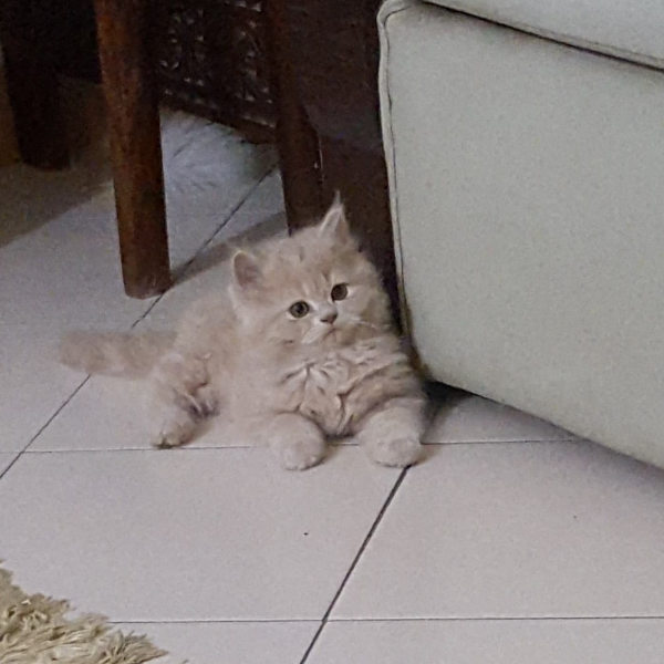 Kitten - Cat - Buy and Sell Pets in Lahore