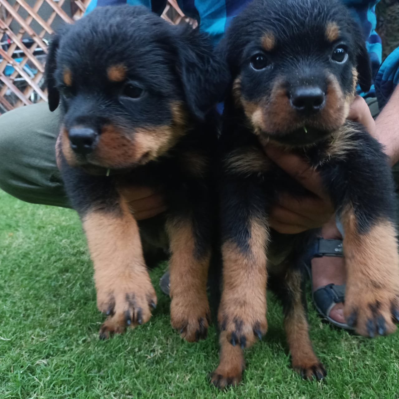 pedigree rottweiler puppies - Dog - Buy and Sell Pets in Lahore