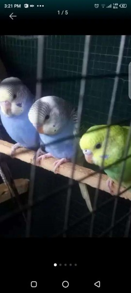 Exhibition Bird - Bird - Buy and Sell Pets in Islamabad