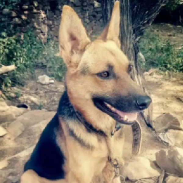 guner-German Shepard dog - dog for sale - Dog - Buy and Sell Pets in Islamabad