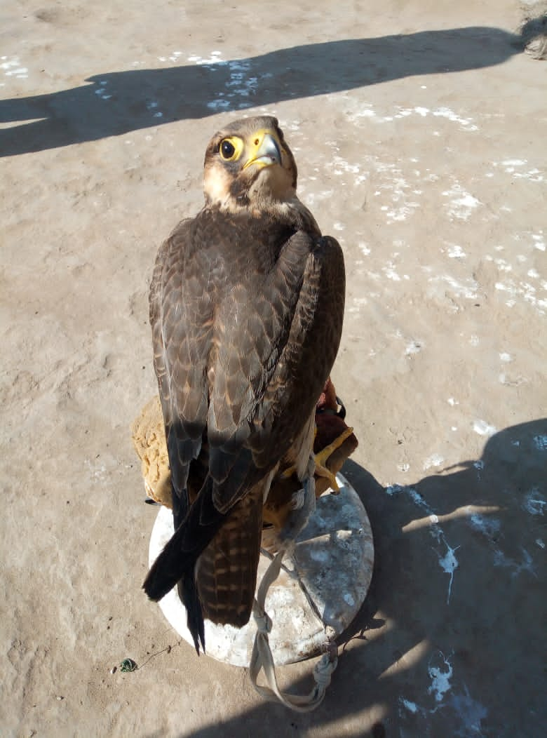 shaheen falcon - Bird - Buy and Sell Pets in Mianwali