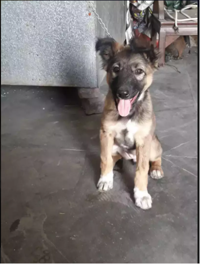 belly- puppy for sale - Dog - Buy and Sell Pets in Lahore
