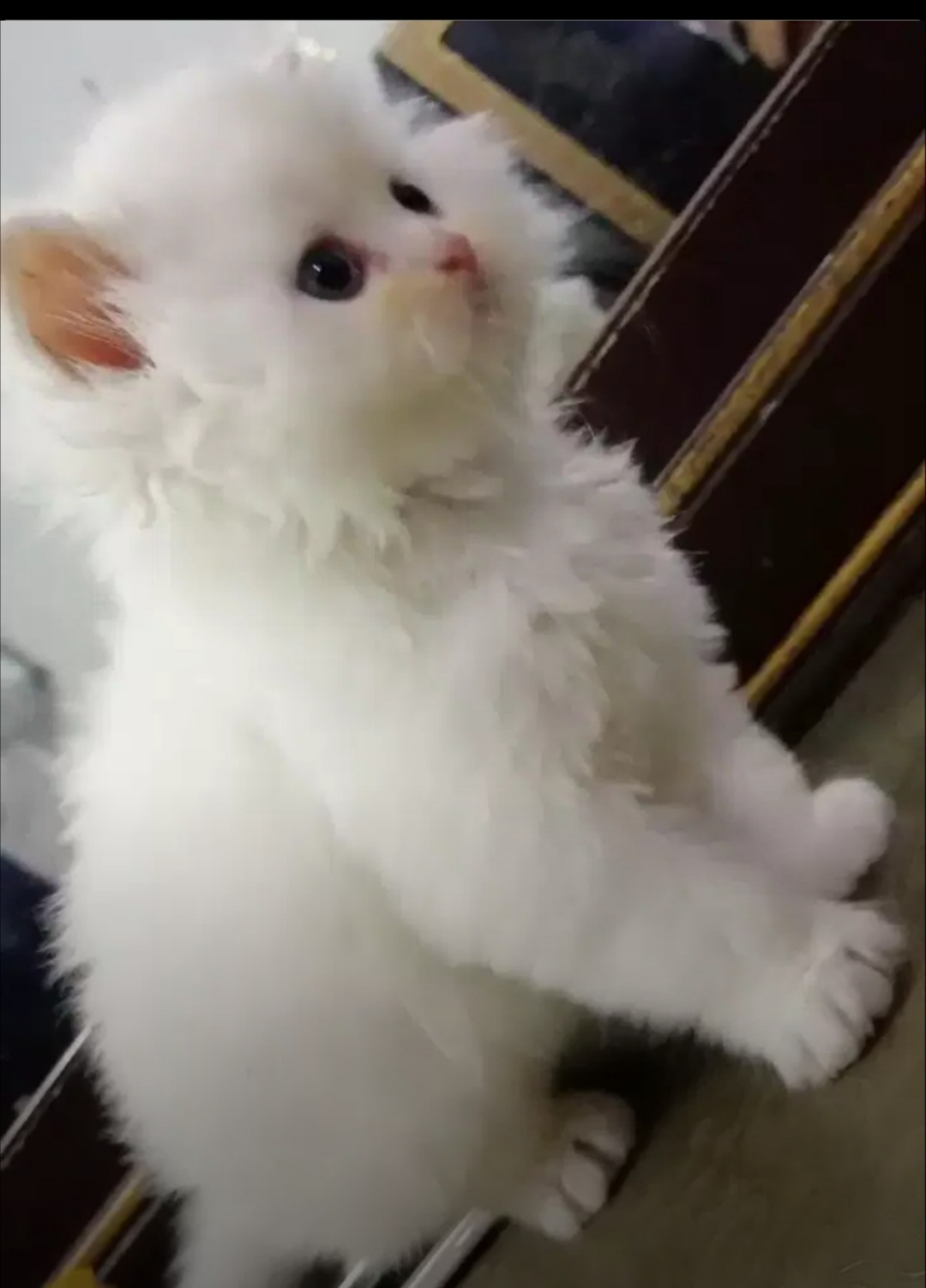 muffin - Cat - Buy and Sell Pets in Lahore