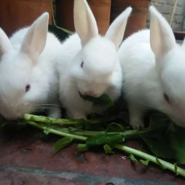 Rabbits red eye - Rabbit - Buy and Sell Pets in Lahore