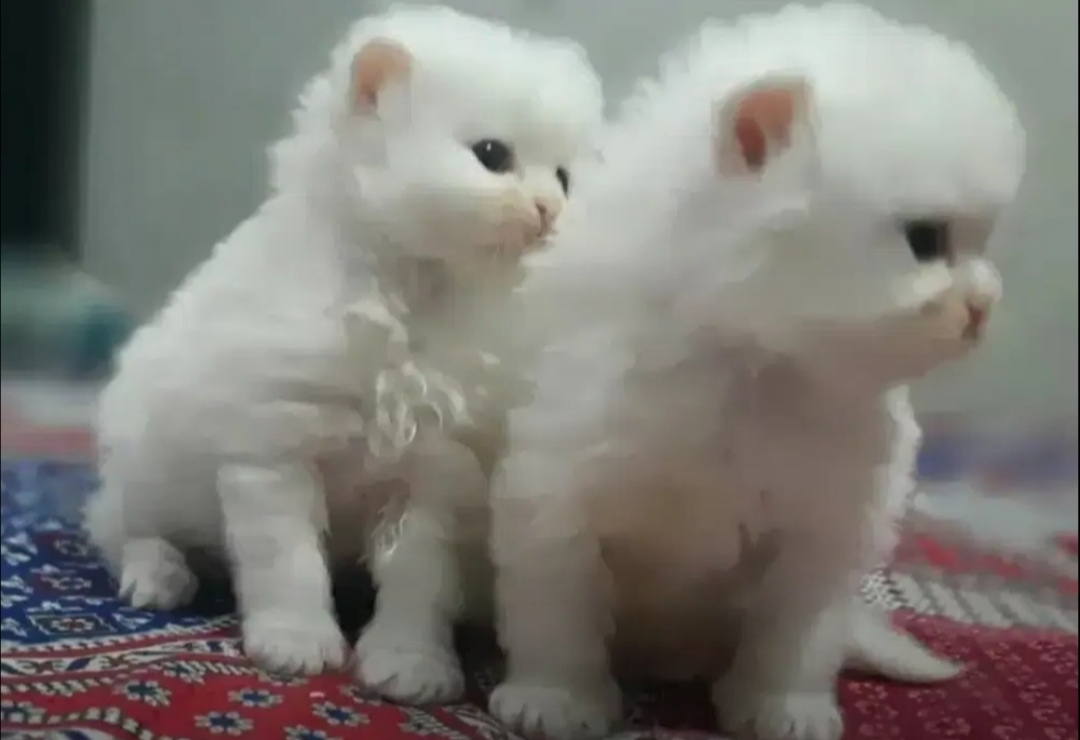 butter - Cat - Buy and Sell Pets in Lahore