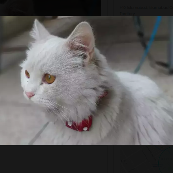 Mado/Cat - Cat - Buy and Sell Pets in Islamabad, Pakistan