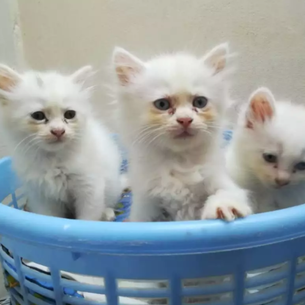 Calvin - persian - buy kitten online - Cat - Buy and Sell Pets in Lahore