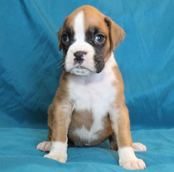 Boxer - Dog - Buy and Sell Pets in Bannu
