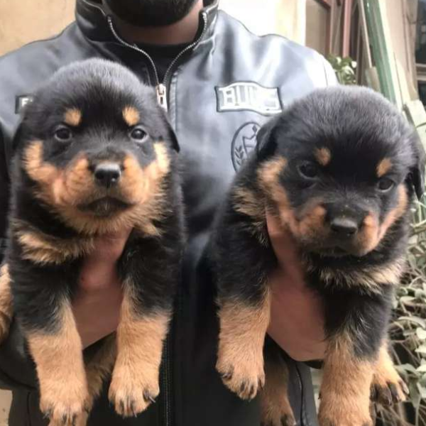 Puppies - Dog - Buy and Sell Pets in Lahore