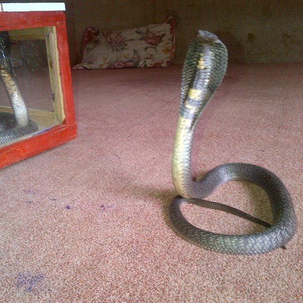 Cobrasss - Snakes - Buy and Sell Pets in Matiari