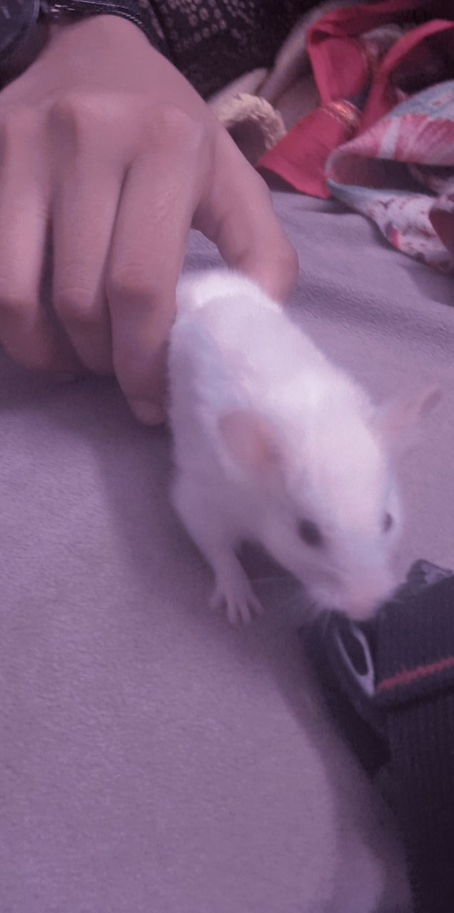 Hamster - Mouse Hamsters Rats - Buy and Sell Pets in Karachi