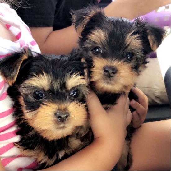 Yorkshire Terrier Puppies - Dog - Buy and Sell Pets in Lahore