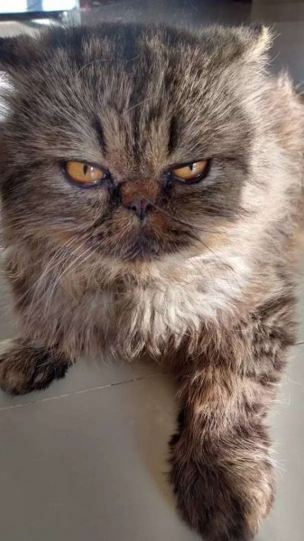 Punch Male - Cat - Buy and Sell Pets in Karachi