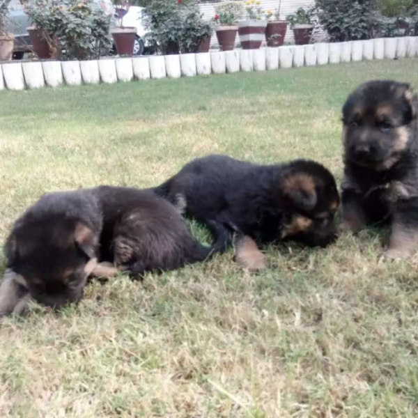 puppies- pubby for sale - Dog - Buy and Sell Pets in Lahore