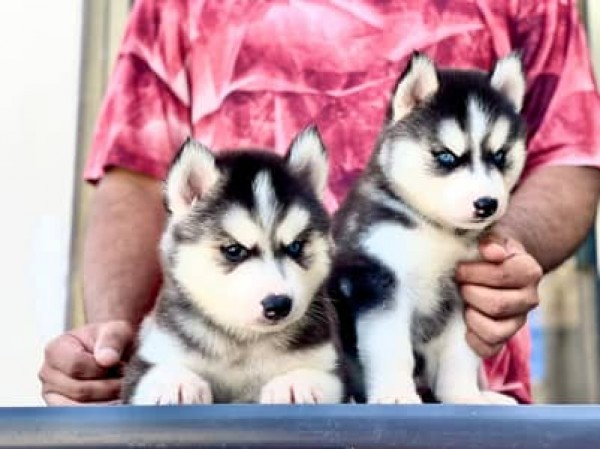 Siberian husky - Dog - Buy and Sell Pets in Islamabad