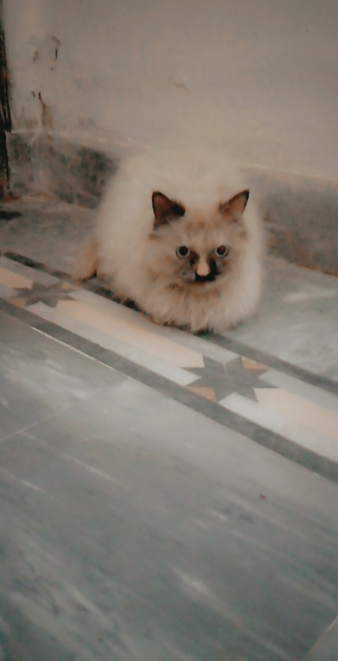 Persian - Cat - Buy and Sell Pets in Faisalabad