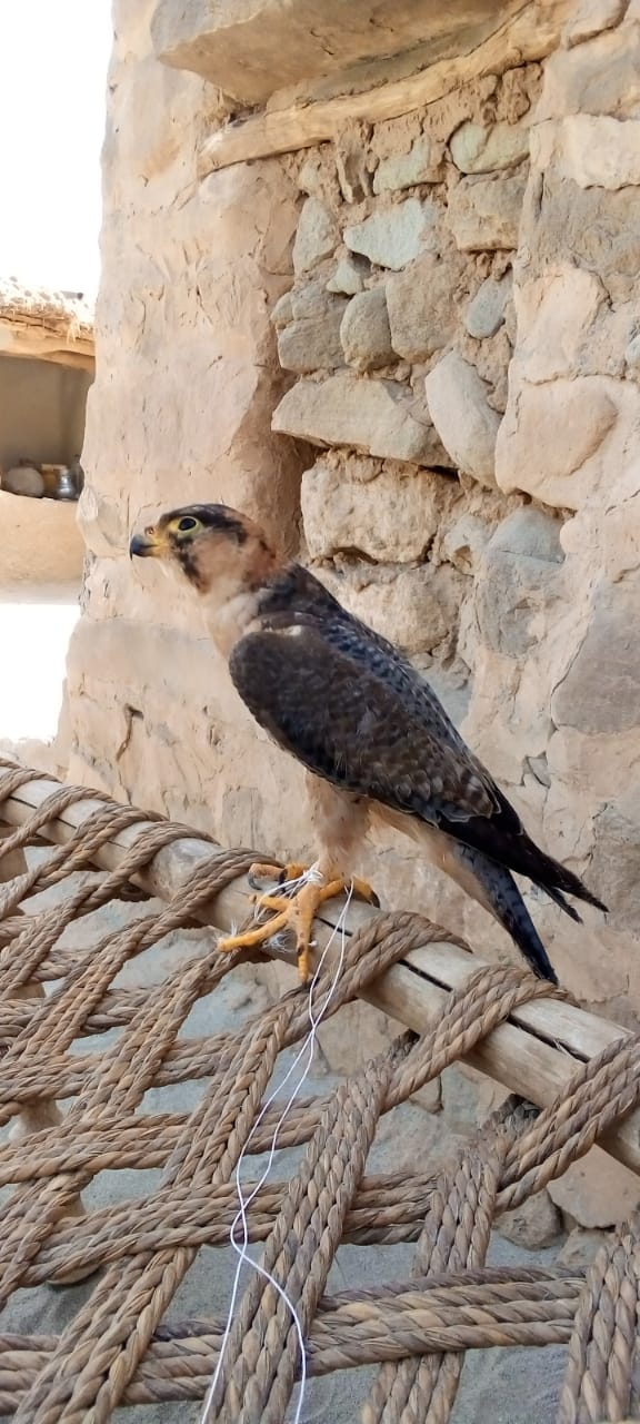 peregrine falcon - Bird - Buy and Sell Pets in Faislabad
