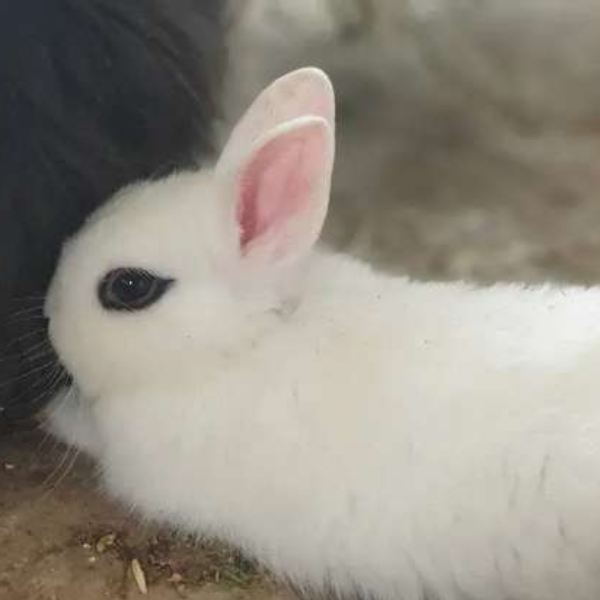 Hotot Dwarf Rabbit - Rabbit - Buy and Sell Pets in Lahore