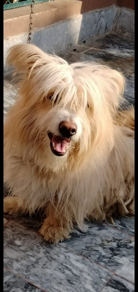 banti frist - Dog - Buy and Sell Pets in Peshawar