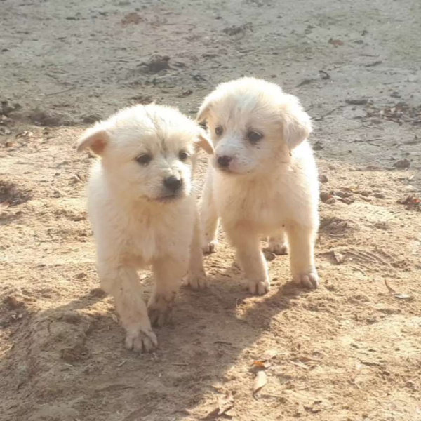 Russian dog - Dog - Buy and Sell Pets in Faislabad