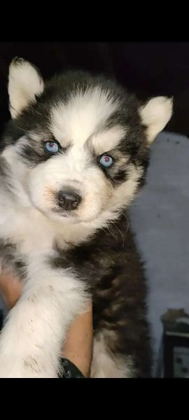 Siberian husky - Dog - Buy and Sell Pets in Lahore