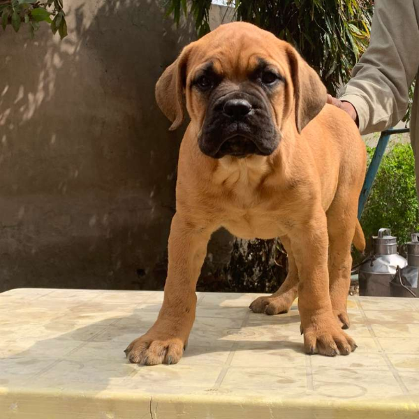 Bull mastiff - Dog - Buy and Sell Pets in Faislabad