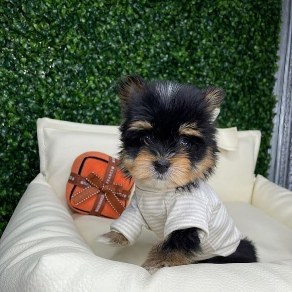 Yorkshire Terrier - Dog - Buy and Sell Pets in Badin