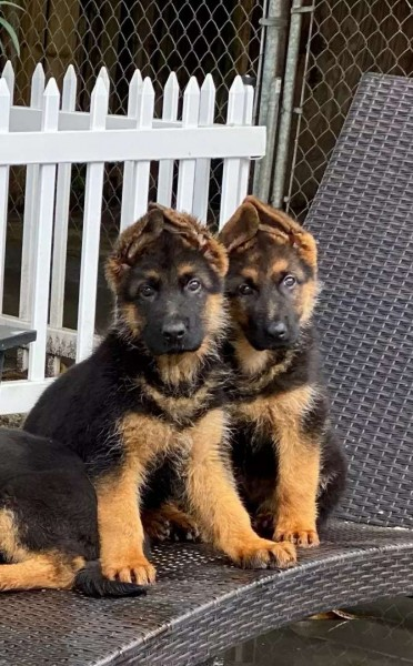 German shepherd puppy - Dog - Buy and Sell Pets in Islamabad