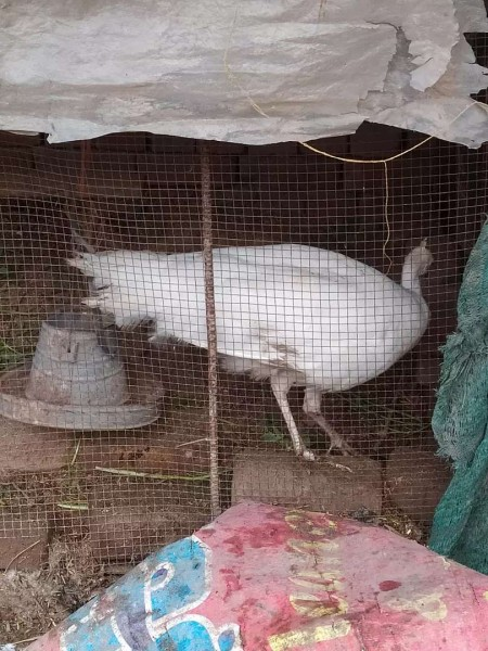 White Peacock - Bird - Buy and Sell Pets in Lahore