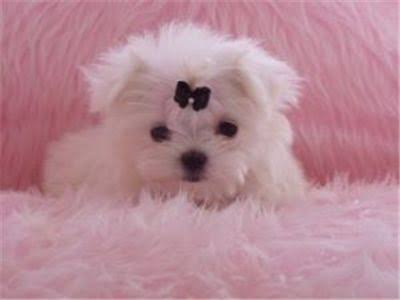 Maltese toy - Dog - Buy and Sell Pets in Lahore