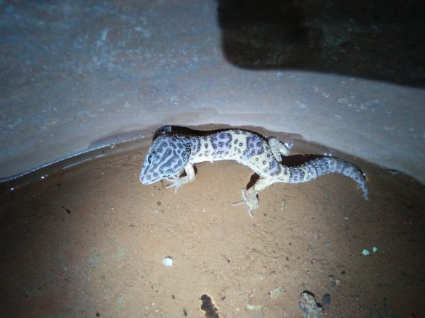 lizard - Lizards & Iguana - Buy and Sell Pets in Islamabad