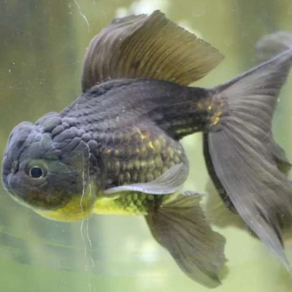 Lionhead fish - Fish - Buy and Sell Pets in Lahore