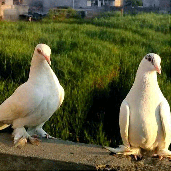 Fancy Pigeon Pair - Bird - Buy and Sell Pets in Rawalpindi