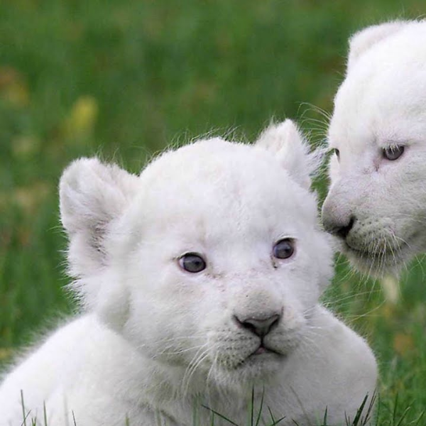 Lion Cub For Sale in Lahore - Lion - Buy and Sell Pets in Lahore