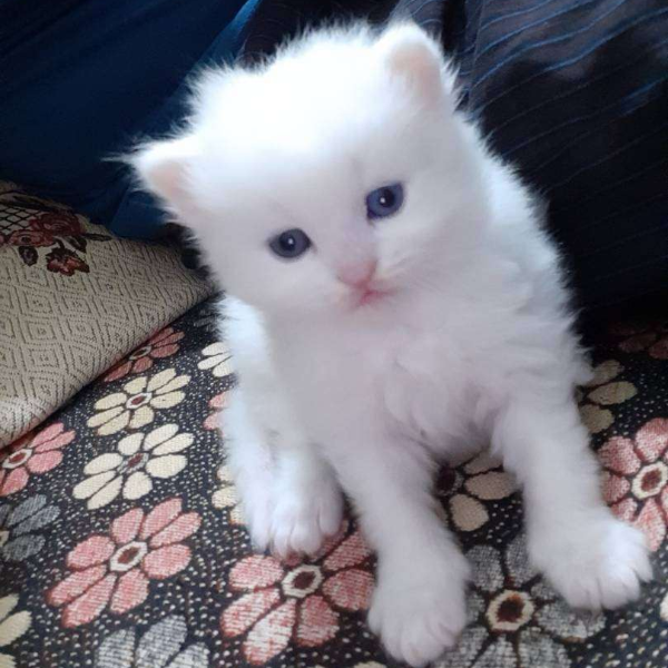 White Persian Kittens - Cat - Buy and Sell Pets in Sahiwal
