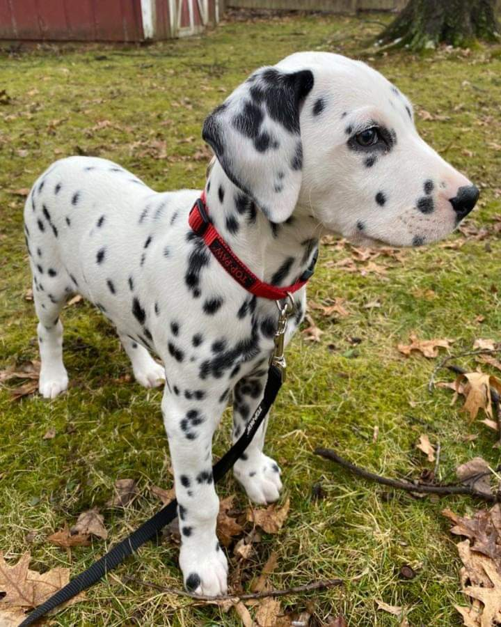 Dalmation dog - Dog - Buy and Sell Pets in Lahore