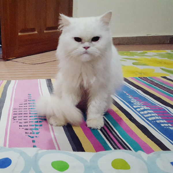 Gogo - Cat - Buy and Sell Pets in Multan