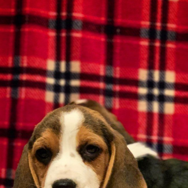 beagle - Dog - Buy and Sell Pets in Karachi