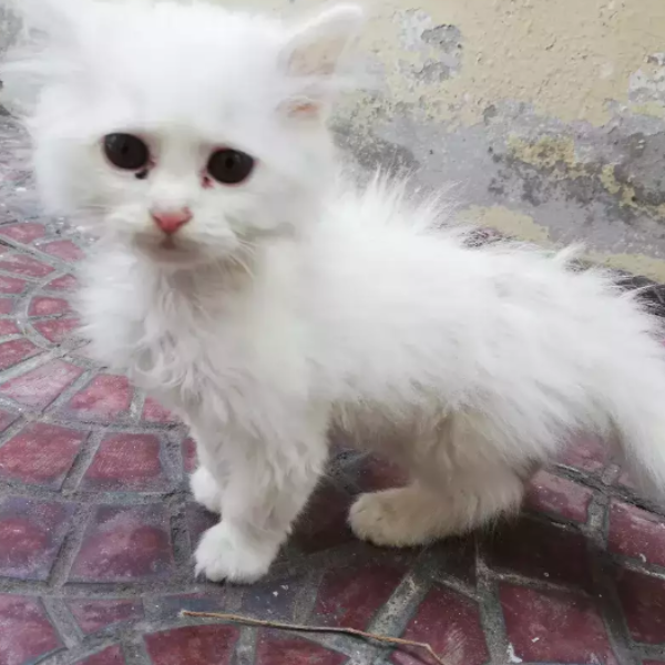 Jafar - kitten for sale - Cat - Buy and Sell Pets in Lahore