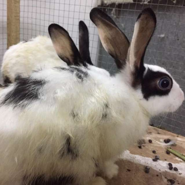 Rabbits pair - Rabbit - Buy and Sell Pets in Lahore